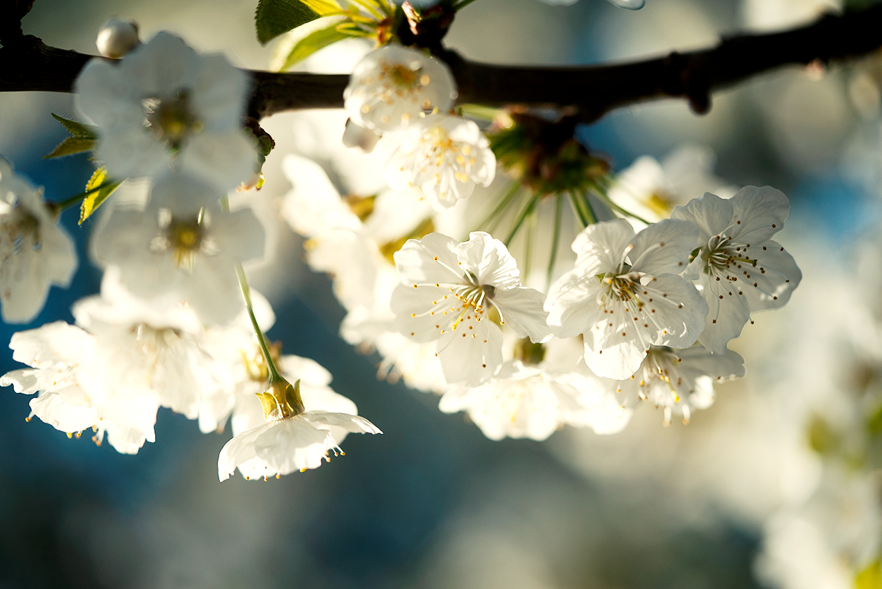 Close up of Cherry Blossoms in Marin County, CA.